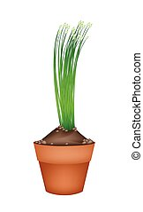 Fresh Garlic Chives in Ceramic Flower Pots - Vegetable and...