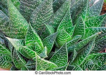 aloe Succulent Plant - Green white spotted aloe Succulent...