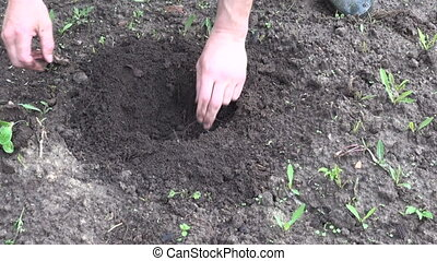 farmer hands planting pumpkin seedling in spring soil