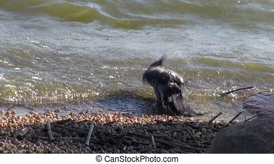 bird Hooded crow Corvus corone sea water bath wash on beach...