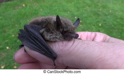 animal bat Nathusius pipistrelle (Pipistrellus nathusii) in...