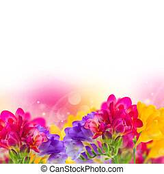blue, pink and yellow freesia flowers border on white...