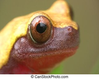 Clown treefrog Dendropsophus triangulum - From the...