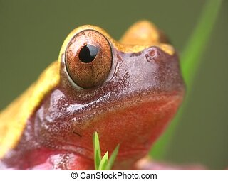 Clown treefrog (Dendropsophus triangulum) - From the...