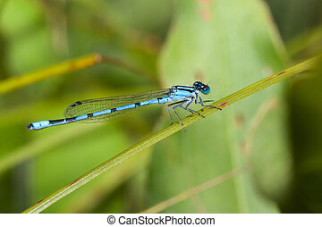 Common Blue Damselfly perched on a stem.