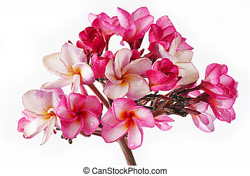 Waterproofs On Pink Plumeria