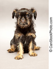 Puppy Brussels Griffin - Portrait Little puppy of breed...