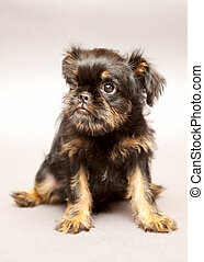 Portrait puppy Brussels Griffin - Portrait Little puppy of...