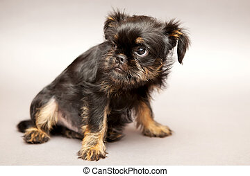 Puppy of breed Brussels Griffin - Funny Little puppy of...