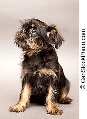 pequeno, Filhote cachorro, Bruxelas, Griffin, ,