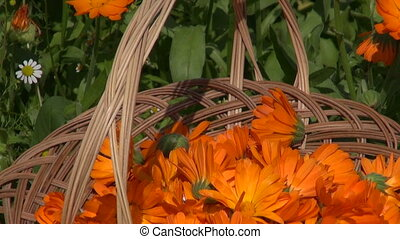 marigold calendula medical flower herbs in wicker wooden...