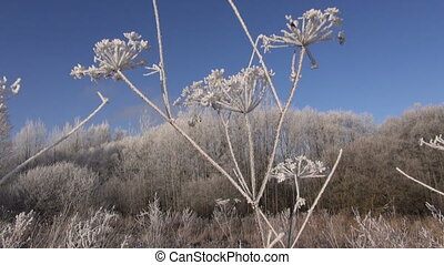 beautiful hoarfrost rime in winter