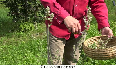medical plant lemon-balm mint - gardener in farm cut with...