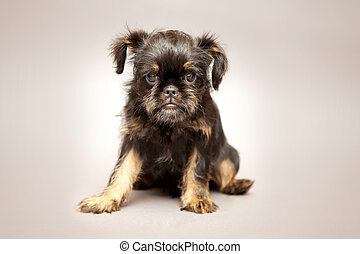 Puppy Brussels Griffin - Little puppy of breed Brussels...