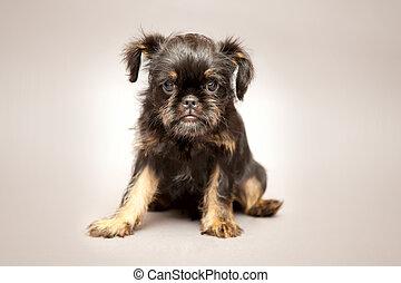 Filhote cachorro, Bruxelas, Griffin, ,