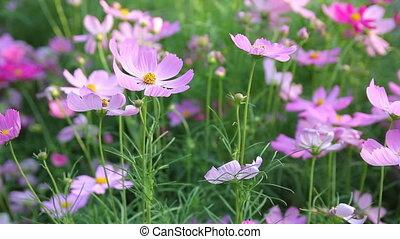 cosmos flower