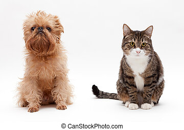 Cat and dog - Cat and the dog breed Bruxellios Griffon on a...