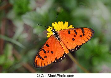 Tawny Coaster Acraea violae Butterfly - Tawny Coaster Acraea...