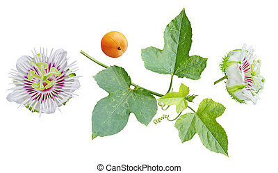 Passiflora foetida Set - Set of Passiflora foetida flower,...