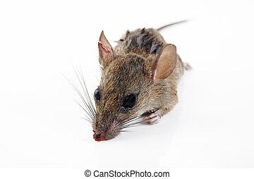 rat injury