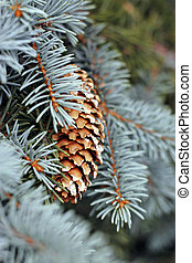 Pincone hanging on the fir tree branch