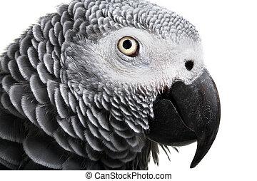 africano, cinzento, Papagaio, isolado, branca