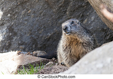 marmot stands out of its den, Gran Paradiso National Park,...