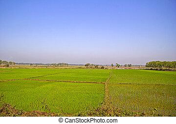 Rice field in Orissa, close to Brahmagiri