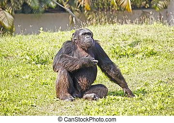 Sitting Cimpanzee - Chimpanzee (Pan troglodytes) sits on a...