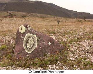 Crustose lichen growing on boulder - on paramo near Cotopaxi...
