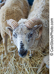 Horned Sheep - a black and white faced horned goat looks up...