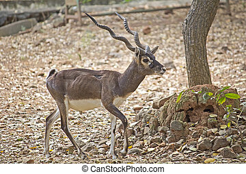 Black buck - Male black buck, Antelope cervicapra