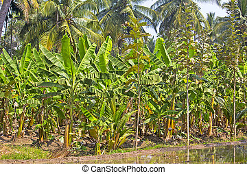 Banana plantation un the South-Indian state Kerala