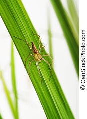 Spiders on the leaves of rice