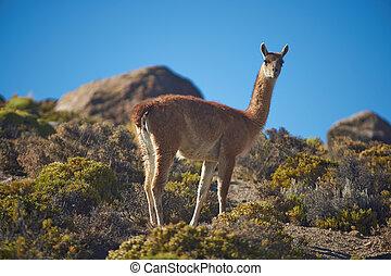 Guanaco on the Altiplano - Lone Guanaco (Lama guanicoe)...