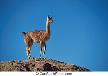Vicuna in the Altiplano - Lone vicuna (Vicugna vicugna)...