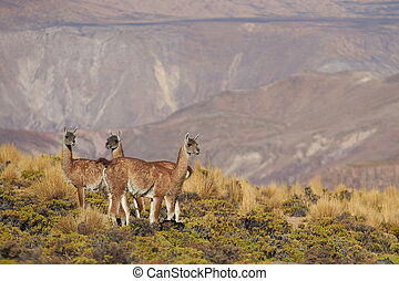 Vicuna in the Altiplano - Group of vicuna (Vicugna vicugna)...