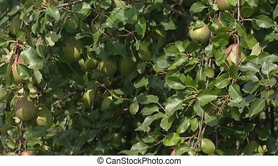 European Pear tree with fruit + tilt up