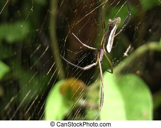 Orb web spider Nephila sp - in the Ecuadorian Amazon