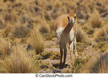 Vicuna in the Altiplano - Lone vicuna (Vicugna vicugna) in...