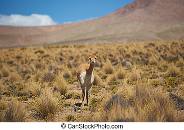 Vicuna in the Altiplano - Lone vicuna (Vicugna vicugna) in...