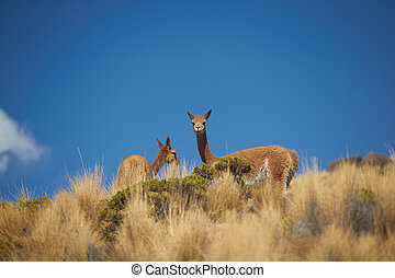 Vicuna in the Altiplano - Group of vicuna Vicugna vicugna...