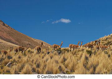 Vicuna in the Altiplano - Group of vicuna (Vicugna vicugna)...