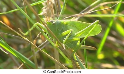close up Great green bush-cricket in grass + jumps off -...
