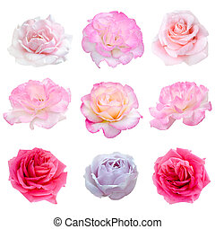collage of nine pink roses isolated on white background