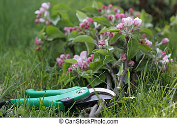 Secateurs with apple branches and apple blossoms