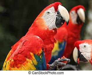 escarlata, papagallos, alimentación, Copan, Hond,