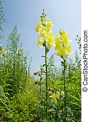 Yellow Snapdragon flowers under blue sky - Yellow flowers in...