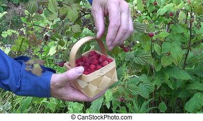 pick wild raspberry in summer
