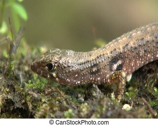 Semi-aquatic lizard Neusticurus ecpleopus - beside an...